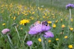 Biene auf Witwenblume