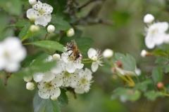 Biene auf Weißdornblüten
