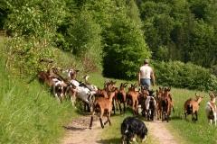 Ausflug mit Ziegen