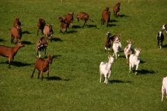 Ziegen kommen auf Rufen gelaufen