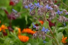Borretsch und Ringelblumen